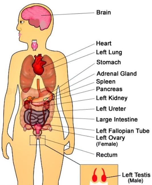 organos situados en el lado izquierdo